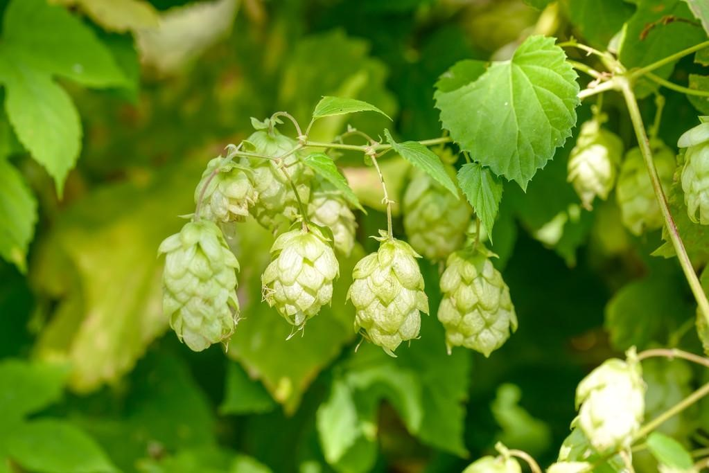 The role of hops in craft beer brewing
